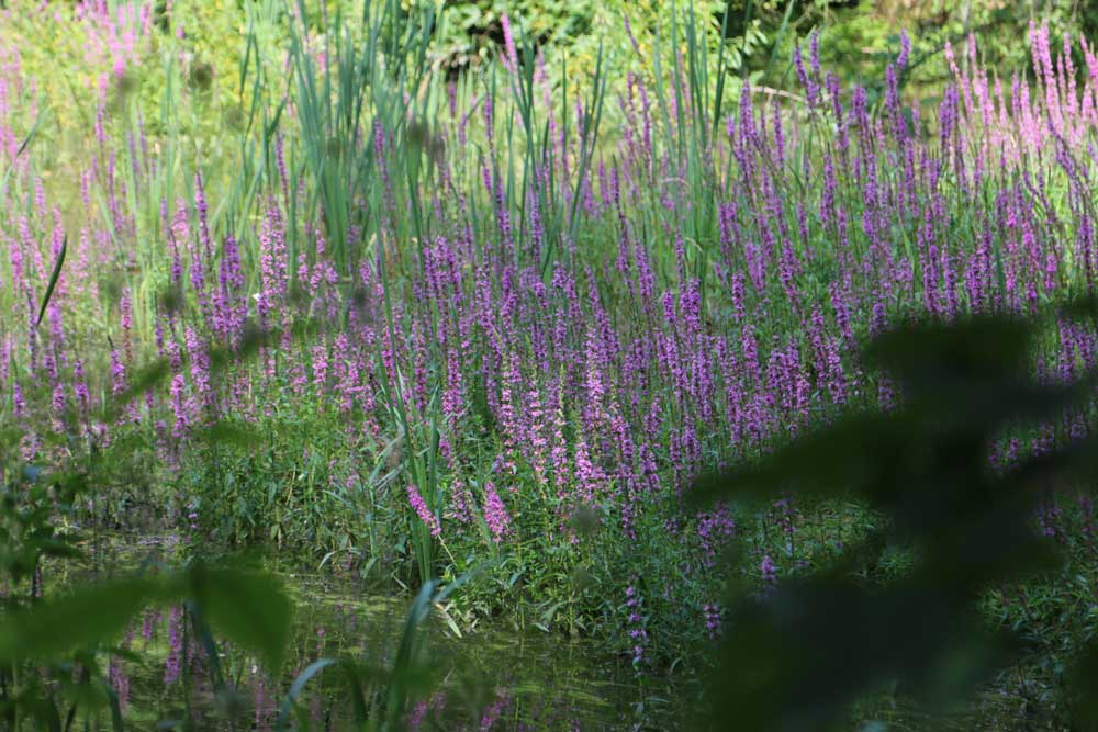 lila Pflanzen