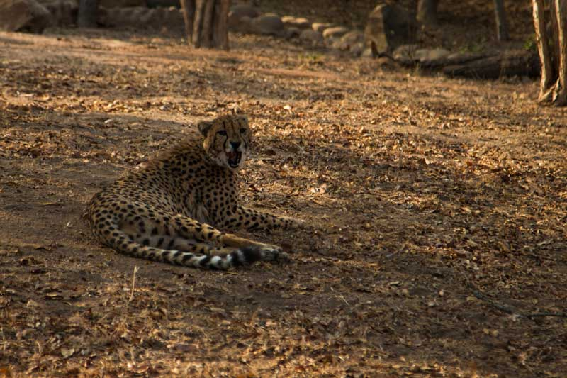 cheetah II @ HESC - South Africa vacation